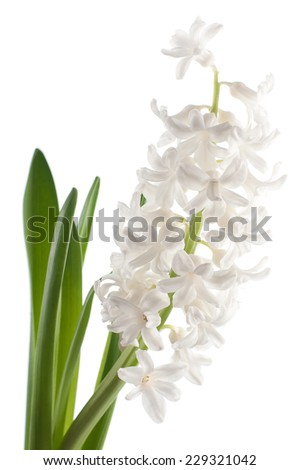 Flower white hyacinth. isolated - stock photo