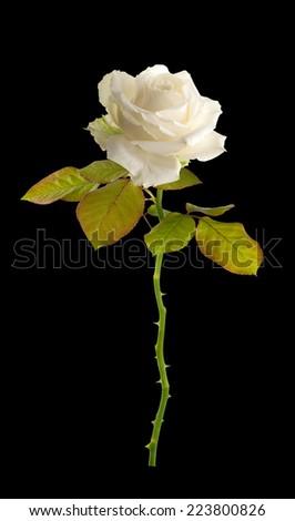 Flower white roses. Isolated  - stock photo
