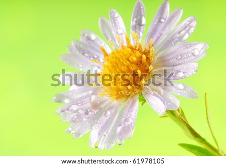 flower with dew drops - stock photo