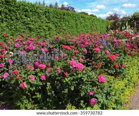 Flowerbed of Bright Pink Roses (Rosa) in an English Country Cottage Rose Garden in Devon, England, UK - stock photo