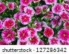 Flowerbed of Dianthus barbatus - stock photo