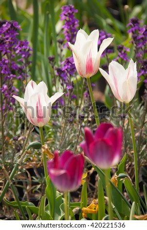 Flowerbed of magenta purple and pink white tulips (Tulipa gesneriana) with blue speedwell (Veronica officinalis) flower background in beautiful spring garden - stock photo