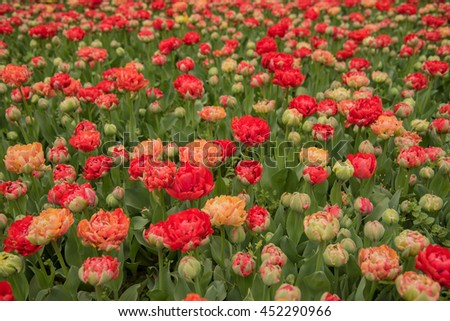 Flowerbed of red tulips