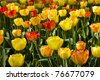 Flowerbed with colorful flamy tulips in spring sunshine - stock photo
