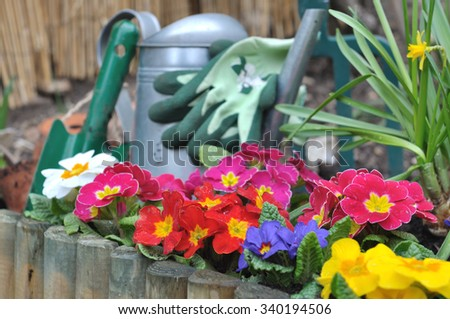 flowerbed with colorful primroses and gardening tools background