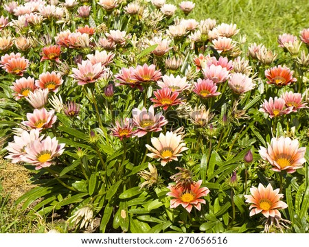 Flowerbed with many flowers gazania of pink colour. - stock photo