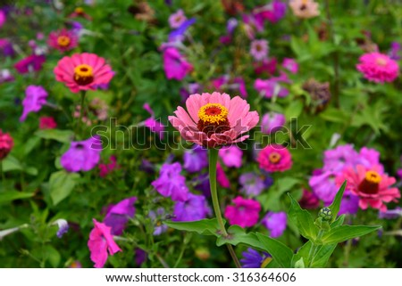 Flowerbed with multicolored Zinnia flowers and Euphorbia marginata, petunias and asters - stock photo
