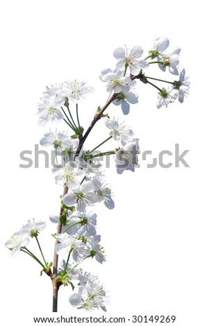 flowered tree - stock photo