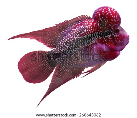 Flowerhorn Cichlid fish on white background - stock photo