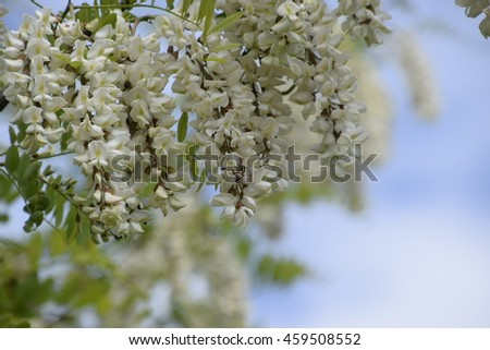 Flowering acacia white grapes. White flowers of prickly acacia, pollinated by bees.
