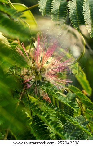 flowering Albizia julibrissin - stock photo