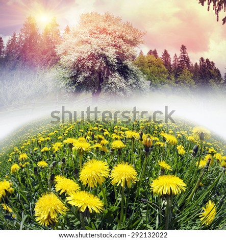 Flowering apple and pear in the Carpathian Carpathian garden are very beautiful and promise a large crop of fruit in ecologically clean area  field with blooming dandelions in front of a thunderstorm. - stock photo