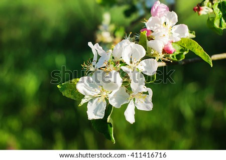 Flowering apple tree in spring on green background - stock photo