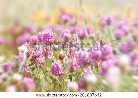 Flowering beautiful red clover - stock photo
