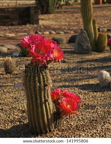 Flowering Bonker hedgehog cactus in the Arizona desert - stock photo