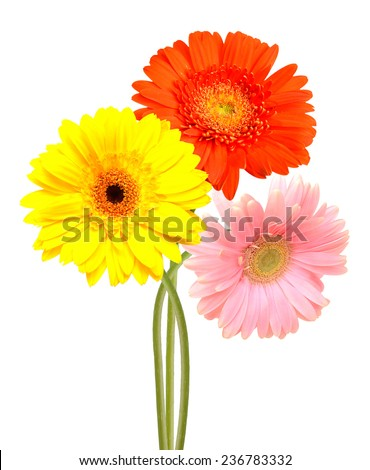 Flowering branch: Beautiful Gerber flowers isolated on white  - stock photo