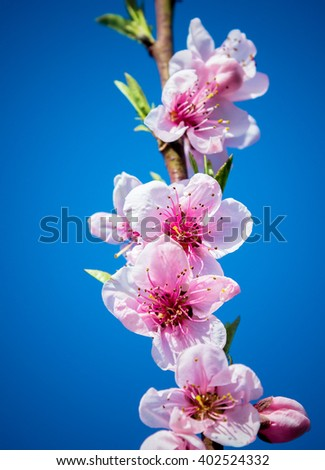 Flowering branch of peach   - stock photo