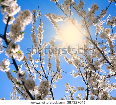 Flowering branches of trees in spring, on background of sunshine and blue sky - stock photo