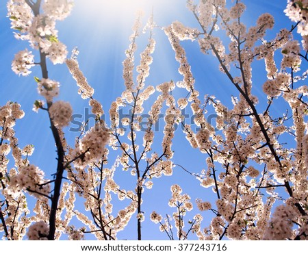 Flowering branches of trees in spring, on background the blue sky and sunshine  - stock photo