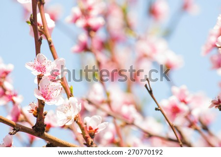 Flowering branches with sky in the background - stock photo