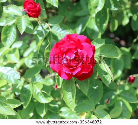 Flowering bush of red roses in the garden in summer - stock photo