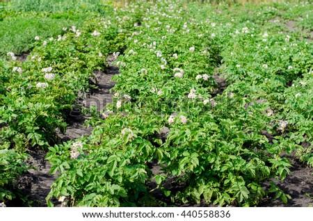 Flowering bush potatoes on the field - stock photo