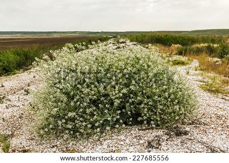Flowering bush tumbleweed on the shore of the dry lake - stock photo