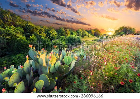 Flowering cactus and Indian blanket wildflowers at sunset in Texas - stock photo