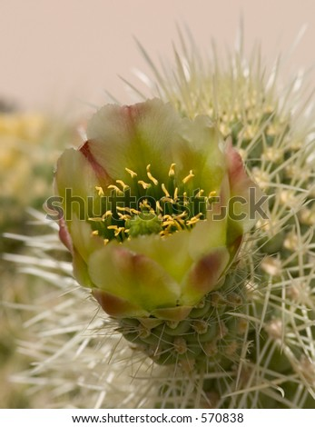 Flowering cactus, cholla - stock photo