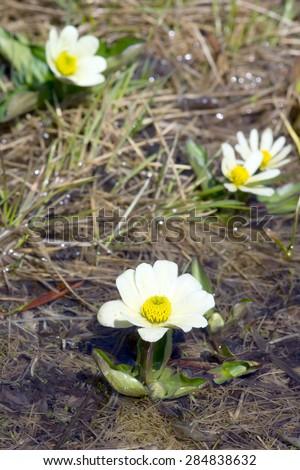 Flowering   Caltha leptosepala (White Marsh Marigold, Twinflowered Marsh Marigold, or Broadleaved Marsh Marigold)  - stock photo