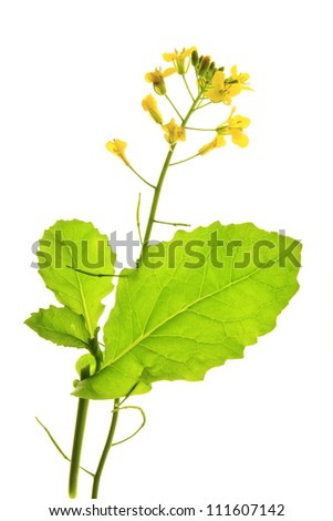 flowering Canola plant (Brassica napus), isolated before a white background - stock photo