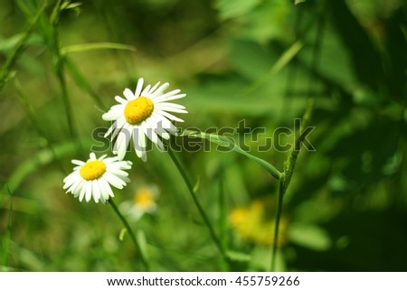 Flowering. Chamomile. Blooming chamomile in the grass. Chamomile flowers on a meadow in summer,Blurred background - stock photo