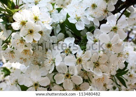 Flowering cherry - stock photo
