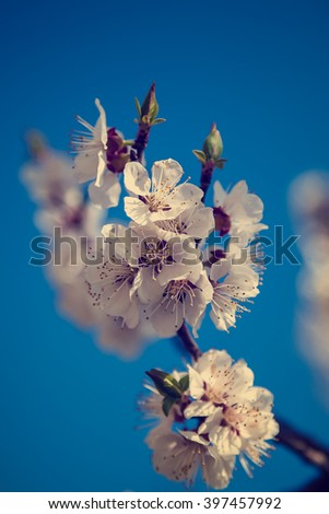 Flowering cherry on a background of blue sky on a sunny day. - stock photo