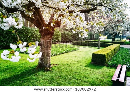 Flowering cherry tree in Keukenhof garden - stock photo