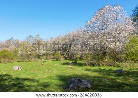 Flowering cherry trees in the meadow at spring - stock photo