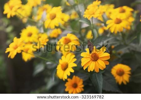flowering coreopsis - stock photo