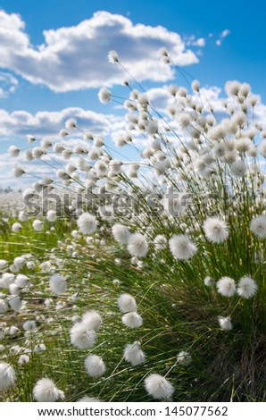 Flowering cotton grass on a background of blue sky - stock photo
