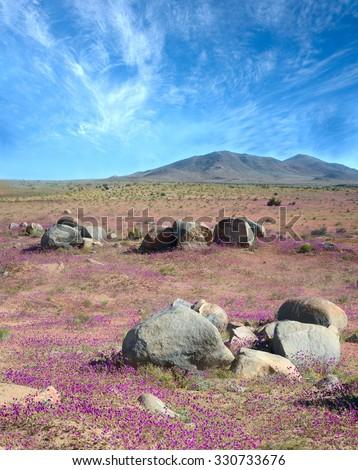 Flowering desert  (Spanish: desierto florido) in the Chilean Atacama. The event is related to the El Nino phenomenon - stock photo