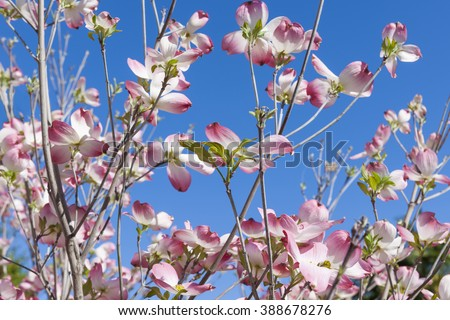 Flowering dogwood branches, Cornus florida, in bloom against a blue sky - stock photo