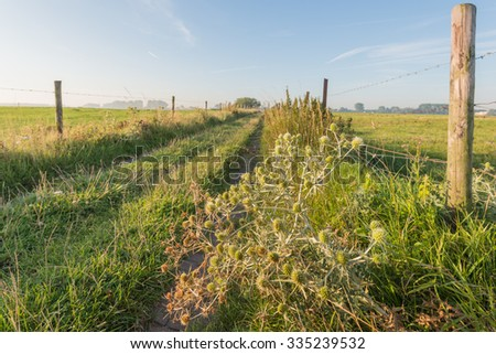 Flowering Field Eryngo or Eryngium campestre plants in the foreground of a path between grassland. It's a sunny day in the summer season in the Netherlands. - stock photo