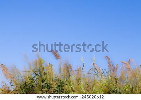 Flowering grass with Blue Sky Backgrounds