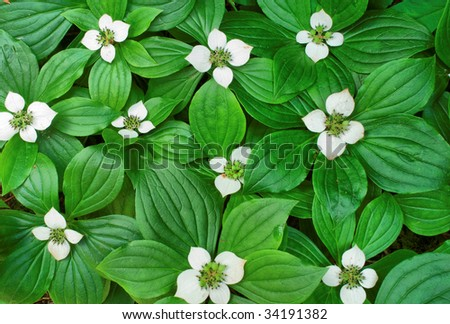 Flowering ground bunchberry - stock photo