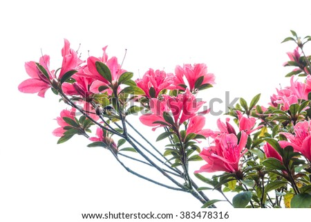 Flowering  growing in summer meadow with white background (Rhododendron arboreum) - stock photo
