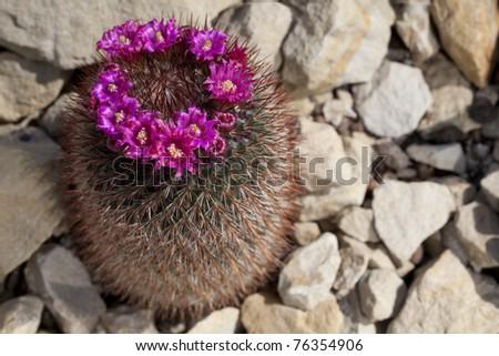 Flowering Hedgehog Cactus - stock photo