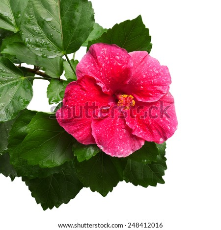 Flowering Hibiscus. Isolated on a white. - stock photo