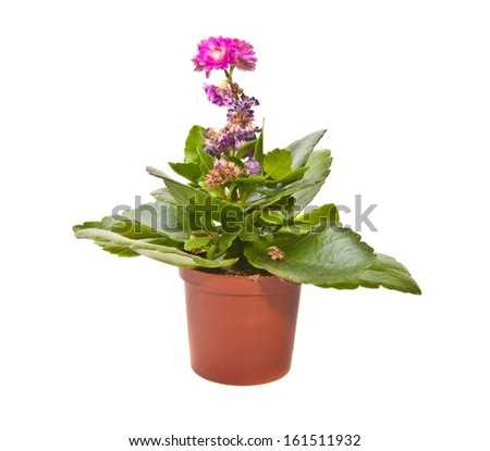 flowering kalanchoe in a pot on a white background - stock photo