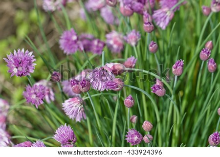 Flowering lilac-pink perennial plants of the Siberian onion - stock photo