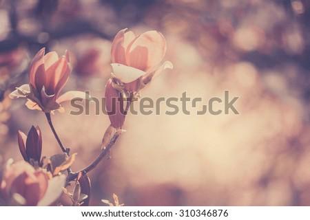 Flowering magnolia in a spring garden, background, texture - stock photo