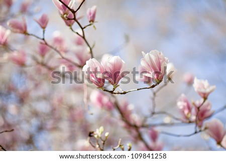Flowering magnolia tree densely covered with beautiful fresh pink flowers